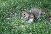 Grey Squirrel Print by Lori Tordsen