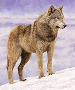 David Stribbling - Grey Wolf