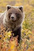 Yukon Territory Framed Prints - Grizzly Bear in Autumn Framed Print by Tim Grams
