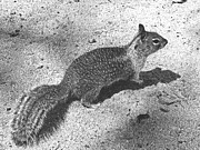 Pencil Drawing Photo Posters - Ground Squirrel Poster by Frank Wilson