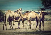 Camel Photos - Group of camels in Africa by Michal Bednarek