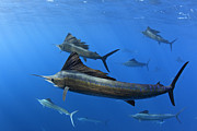 Schooling Prints - Group Of Sailfish Swimming In Blue Tropical Ocean Waters Print by Brandon Cole