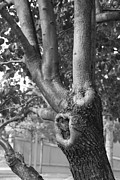 11 Wtc Digital Art Metal Prints - GROWTH on the SURVIVOR TREE in BLACK AND WHITE Metal Print by Rob Hans