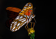 Poll Art - Gulf Fritillary aka Passion Butterfly by Kim Michaels