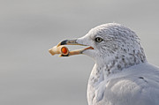 Gull Print by Jim Nelson
