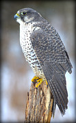 Gyrfalcon  Framed Prints - Gyrfalcon II Framed Print by Rob Andrus