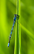 Green Blade Of Grass Posters - Hagens Bluet Poster by Bill Morgenstern