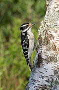 Hairy Woodpecker Print by Linda Freshwaters Arndt