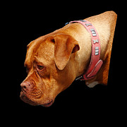 Boxer Dog Art Print Prints - Happy Jo - ref 0272 Print by Colin Hogan