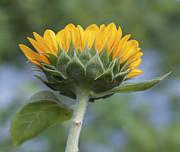 Terry DeLuco - Happy Sunflower
