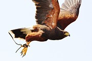 Thomas Photography  Thomas - Harris Hawk in Flight