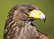 Thomas Photography  Thomas - Harris Hawk