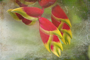 Downward Posters - Heliconia rostrata Poster by Sharon Mau