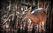Whitetail Digital Art - Hello Deer by Sheri McLeroy
