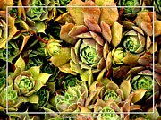 Hens And Chicks Photography Prints - Hens and Chick Plants Print by Rose Santuci-Sofranko