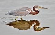 Paulette  Thomas - Heron Reflection