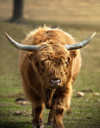 Kyloe Posters - Highland Cattle Poster by Brandon Alms