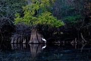 Cypress Knees Photos - Hillsborough River Egret 02 by Carol Kay