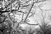 Hoar Prints - hoar frost on bare tree branches during winter Forget Saskatchewan Canada Print by Joe Fox