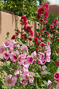 Hollyhocks Prints - Hollyhocks  Print by Carolyn Dalessandro