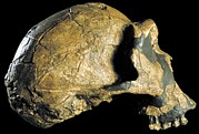 Science Photo Library - Homo ergaster skull...