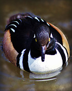 Carol Toepke Prints - Hooded Merganser Print by Carol Toepke