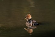 Elka Lange - Hooded Merganser