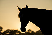 Michael Photo Posters - Horse sunset Poster by Michael Mogensen