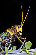 Robert Jensen Art - Horselubber Grasshopper On Ocotillo by Robert Jensen