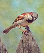 Sparrow Digital Art Posters - House Sparrow Poster by David G Paul