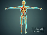 Median Nerves Posters - Human Body Showing Skeletal System Poster by Stocktrek Images