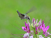 Cleome Flower Prints - Hummingbird Print by Jack Schultz