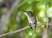 Saija  Lehtonen - Hummingbird on a Branch