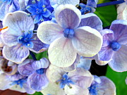 Joyce Woodhouse - Hydrangea  Flower