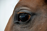 Race Horse Photos - I Am Watching You by Pamela Schreckengost