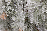 Blink Images - Ice on pine branches