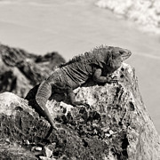 For Ninety One Days - Iguana In Tulum