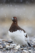 Ptarmigan Prints - In Falling Snow Print by Tim Grams