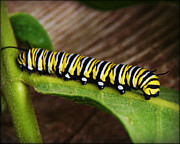 City Scapes Greeting Cards Posters - Insect Caterpillar Poster by Carol Toepke