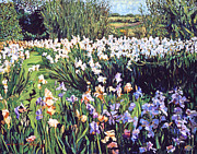 Gardenscape Paintings - Irises Provence by David Lloyd Glover