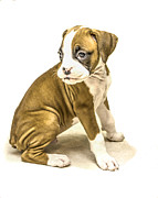 Boxer Digital Art Prints - Isolated boxer puppy Print by Tony Moran