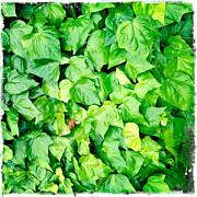 Lush Green Art - Ivy by Les Cunliffe