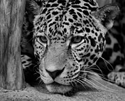 Indiana Photography Acrylic Prints - Jaguar in Black and White II Acrylic Print by Sandy Keeton