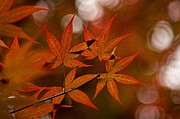 Peggy J Hughes Prints - Japanese maple Print by Peggy J Hughes