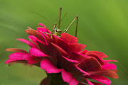 Katydid Prints - Katydid Print by Christina Rollo