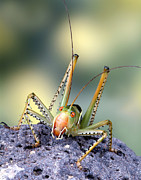 Robert Jensen Metal Prints - Katydid Cricket Metal Print by Robert Jensen