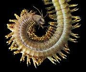 Science Photo Library - King ragworm