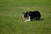 Kingston Prints - Kingston Ontario Canada Sheep Dog Trials Print by Paul OToole