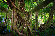 Kipahulu Banyan Tree Print by Inge Johnsson