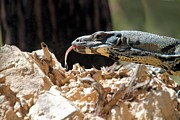 Goanna Photos - Lace Monitor by David Rich